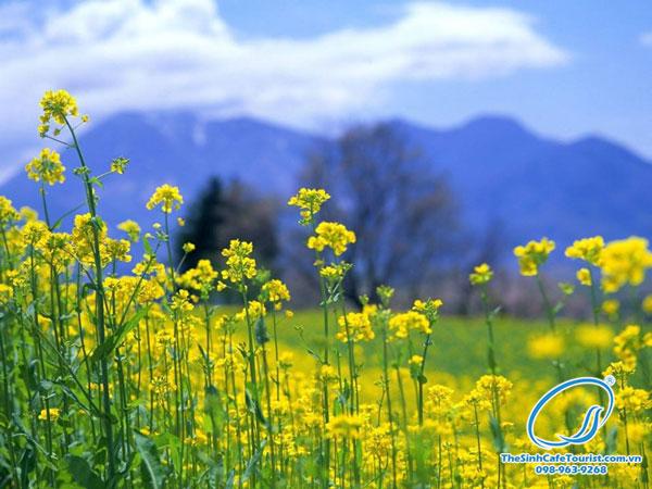 Hoa cải nở rộ, trải rộng một màu vàng rực rỡ